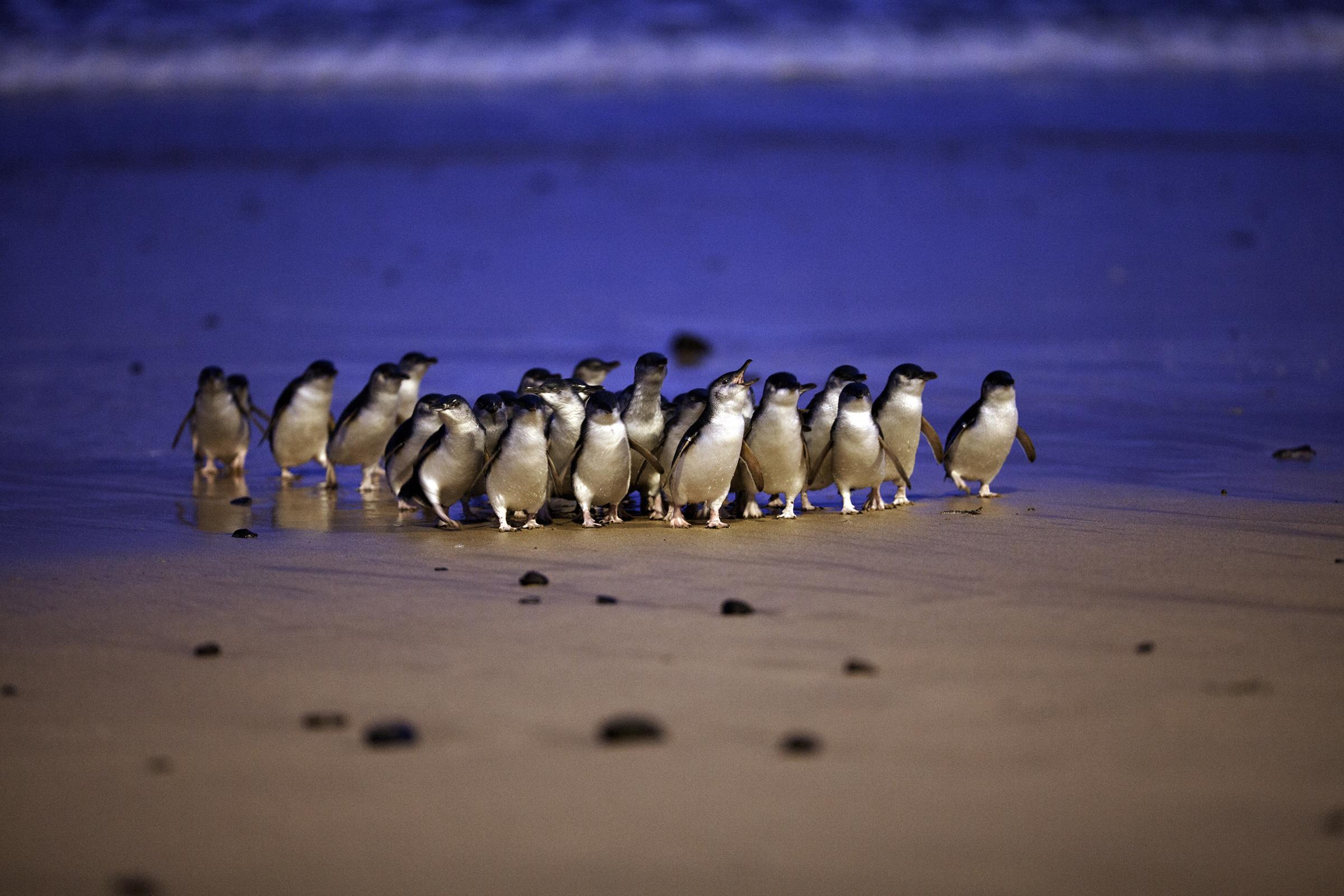 22-penguin-parade-pp-MG9006-C-D-Parer-E-Parer-Cook (1)